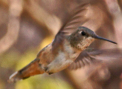 Rufous Hummingbird at Lenoir Sanctuary