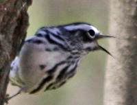Black-and-White Warbler forages on tree trunk.